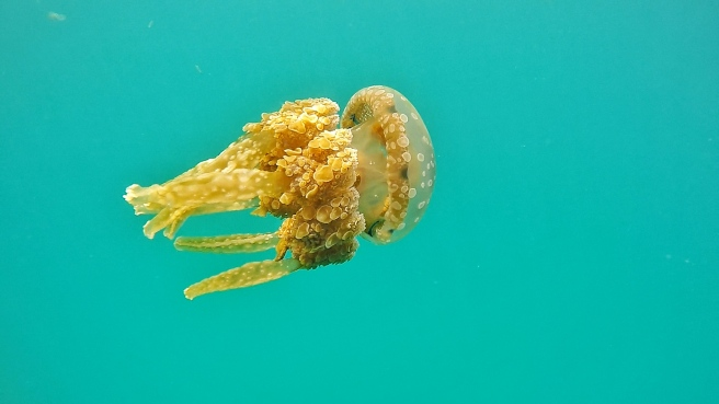 The Stingless Jellyfish. This one was friendly enough to let me take a shot of it.